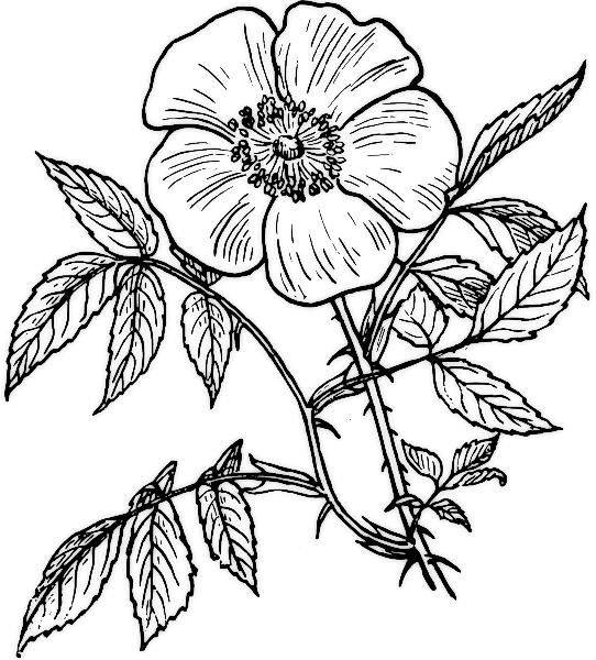 desene de colorat cu flori 2