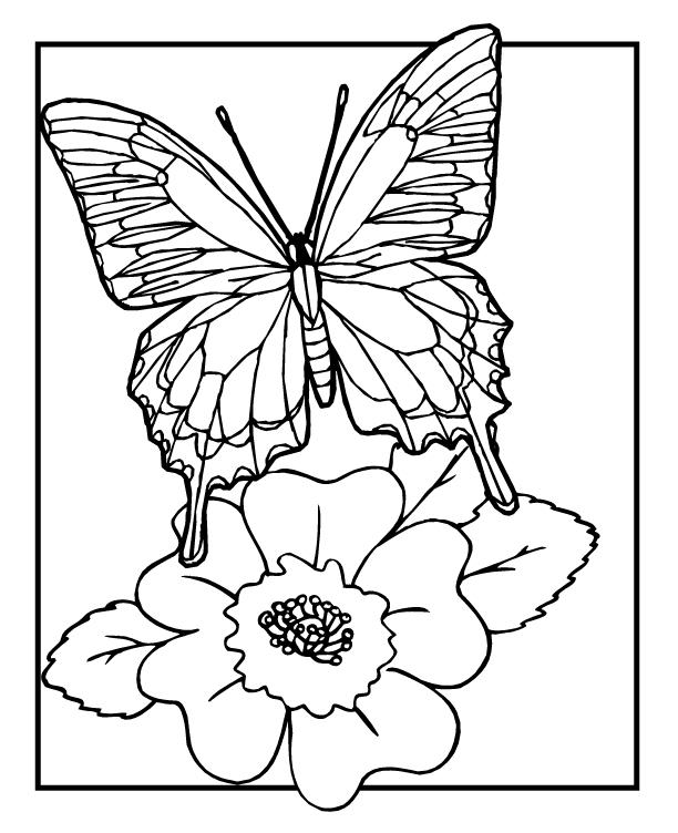 planse desene de colorat fluture 15