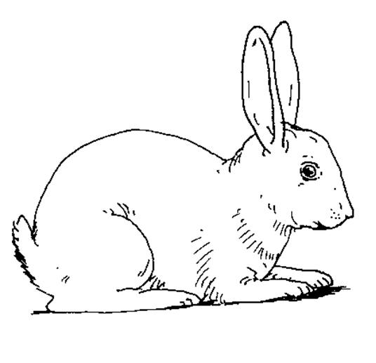 planse desene de colorat iepure 31
