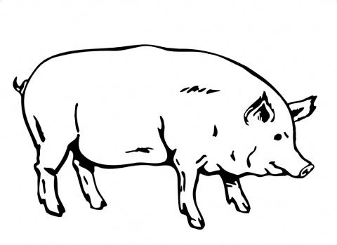 planse desene de colorat porc 17